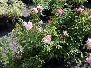 Various Roses - Must Take 8 Times The Bid Price UNRESERVED