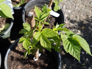 Raspberry Plant (1 gal.)- Must Take 10 Times The Bid Price UNRESERVED