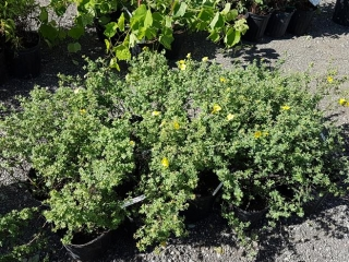 Potentilla Plant- Yellow Gem (2 gal.)- Must Take 15 Times The Money UNRESERVED