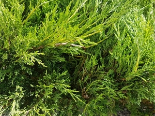 Various Juniper Evergreens (2 gal.)- Must Take 9 Times The Money UNRESERVED