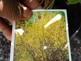 Forsythia Plant- Northern Gold (2 gal.)- Must Take 5 Times The Bid Price UNRESERVED