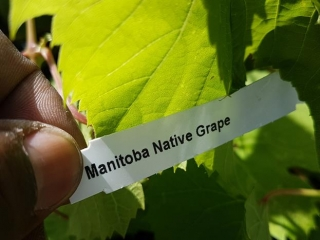 Various Grape Vines - Must Take 8 Times The Bid Price UNRESERVED