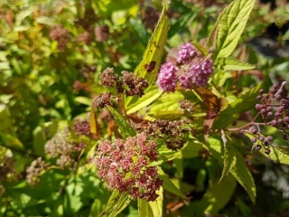 Spirea Plant- Flaming Mound (2 gal.)- Must Take 12 Times The Bid Price UNRESERVED