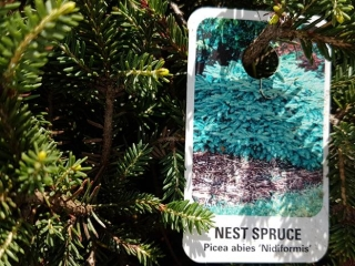 Spruce Tree - Nest 2 gal.)- Must Take 4 Times The Bid Price UNRESERVED