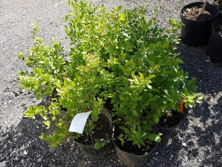 Hedging- Cotoneaster (2 gal.)- Must Take 10 Times The Bid Price UNRESERVED