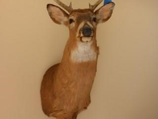 8 pt.  Whitetail shoulder mount