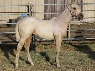 Lot 22 ~ FROSTEDFANCYFRECKLES - AQHA Palo. Filly