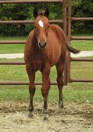 Lot 36 ~ DF SUN FROST N ROSES - AQHA Bay Filly
