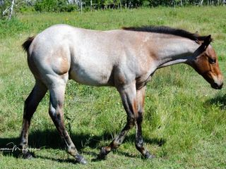 Lot 8 ~ DS JAES FLASHY REBEL - Bay Roan Filly