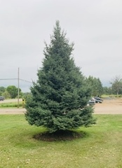 (1) Black Hills Spruce Tree -- 20ft Height