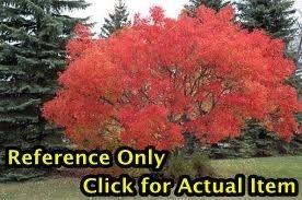 1 - 1.5 ft. Amur Maple