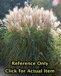 2 gallon Miscanthus Pampas Grass