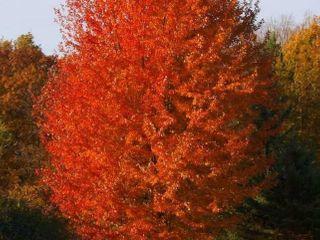 3 - 3.5 ft. Autumn Blaze Maple