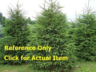 2 - 3 ft. White Spruce