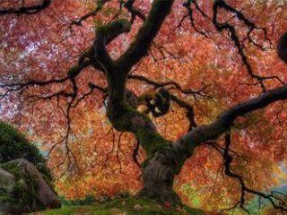 Japanese Maple in Autumn Framed Photo