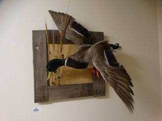 Taxidermy Flying duck  waterfowl wall mount