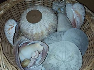 Sand Dollars with Various Seashells and Wicker Basket