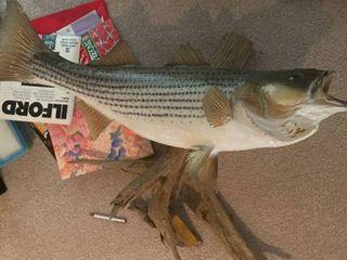 large fish mount   Approximately 33
