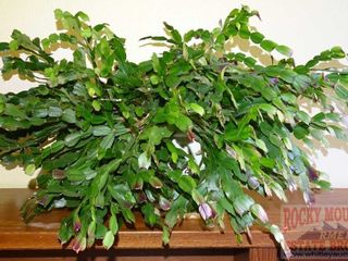 Large Potted Christmas Cactus.
