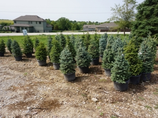 NURSERY STOCK AUCTION
