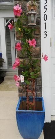 Lot #4321 -  Beautiful 6ft Pink Hibiscus Plant
