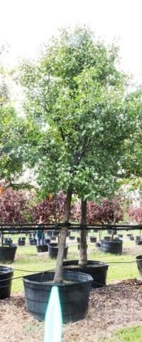 Ornamental Pear 200 Gal