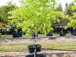 Oklahoma Redbud Tree 30 Gal