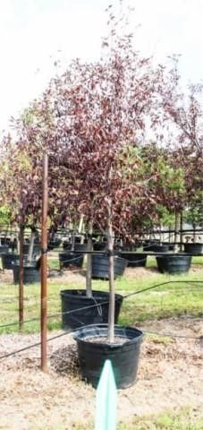 Canada Red Choke Cherry 45 Gal