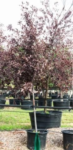 Canada Red Choke Cherry 30 Gal