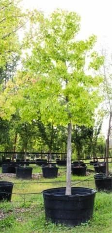 Gold Dust Sweetgum 200 Gal