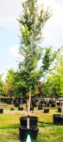 Gold Dust Sweetgum 100 Gal