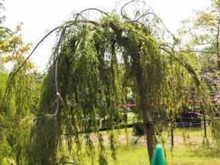 Weeping Bald Cypress 100 Gal