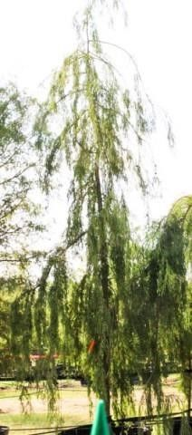 Weeping Bald Cypress 200 Gal