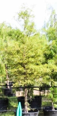Bald Cypress 45 Gal