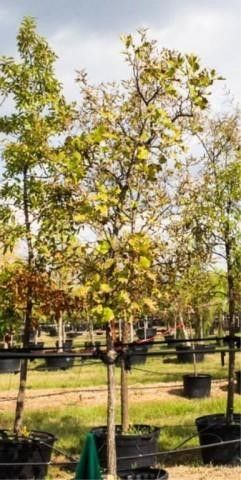 Bur Oak 100 Gal