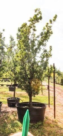 Skyrocket Oak 200 Gal