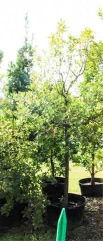 Skyrocket Oak 45 Gal