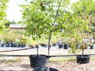 Oklahoma Redbud Tree 45 Gal