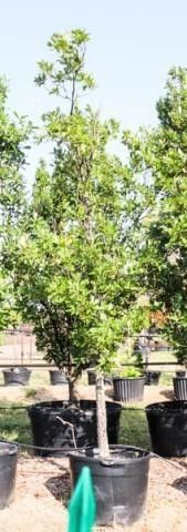 White Swamp Oak 100 Gal
