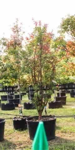 Paper Bark Maple 100 Gal