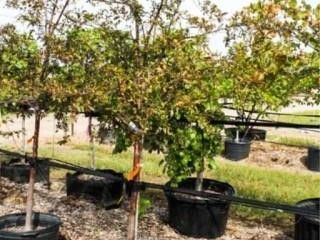 Royal Raindrops Crabapple 30 Gal