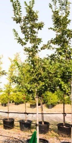 Emerald Sunshine Elm