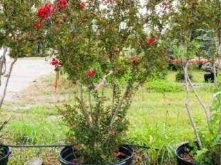 Red Crape Myrtle