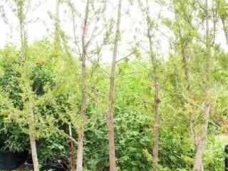 Bald Cypress Dwarf