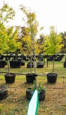 October Glory Maple
