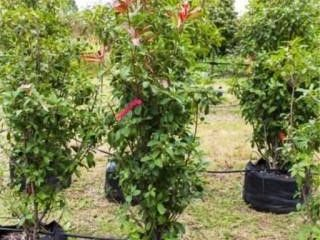 Red Tipped Photinia