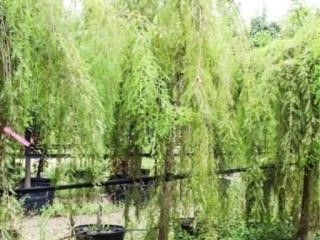 Weeping Cypress