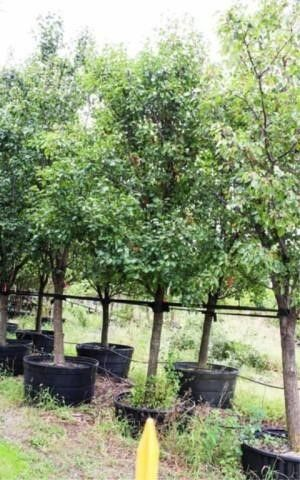 Flowering Pear