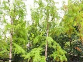 Shawnee Bald Cypress