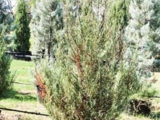 Blue Arrow Juniper